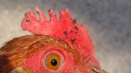 Rooster Combs Photo Download