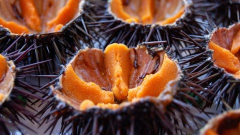 Sea Urchin Caviar wallpapers high quality