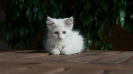 White Kitten Best Wallpaper