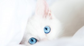 White Kitten Desktop Wallpaper