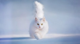 White Kitten Desktop Wallpaper HD