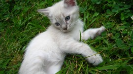 White Kitten High Quality Wallpaper