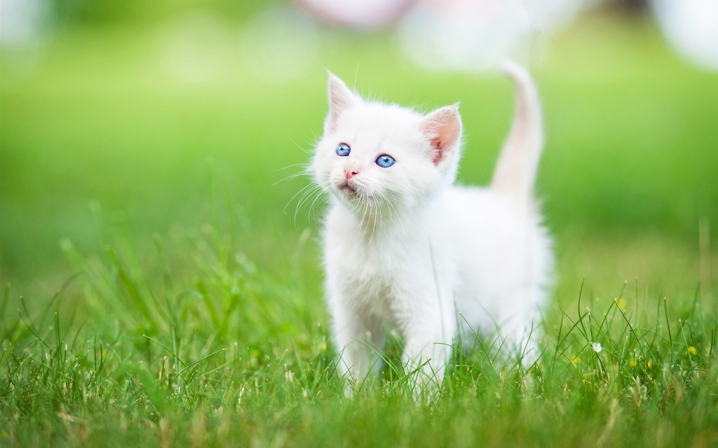 White Kitten wallpapers HD