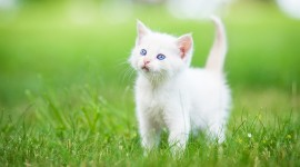 White Kitten Wallpaper