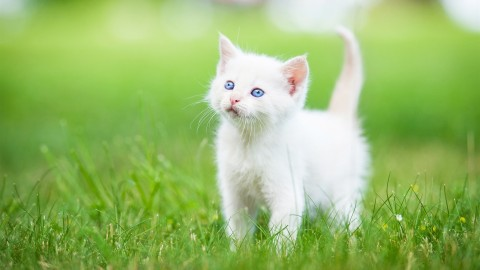 White Kitten wallpapers high quality