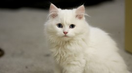 White Kitten Wallpaper Download Free