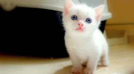 White Kitten Wallpaper For Desktop