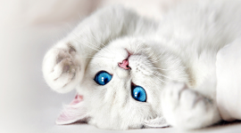 White Kitten Wallpaper Full HD