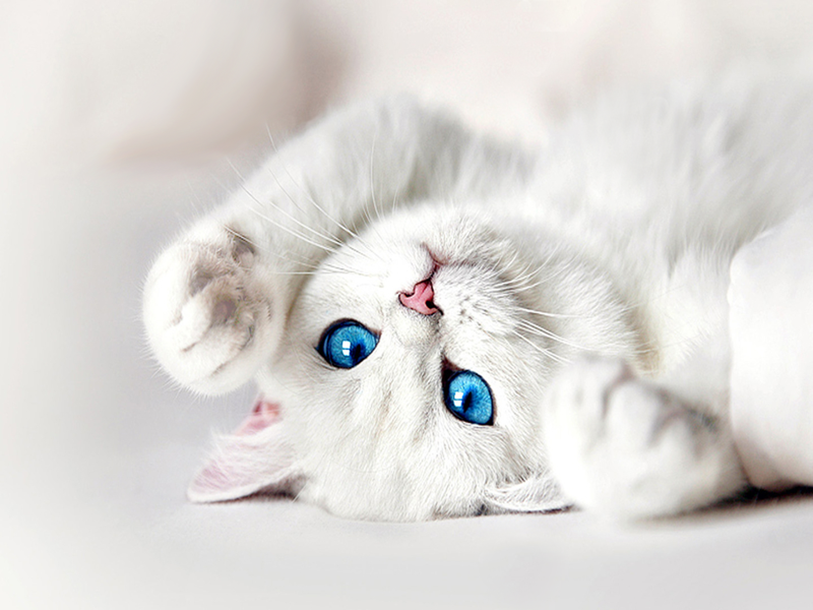 White Kitten Wallpapers High Quality Download Free