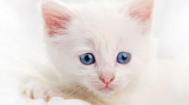 White Kitten Wallpaper Gallery