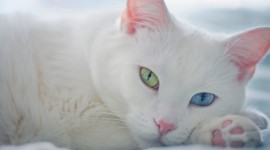 White Kitten Wallpaper HD