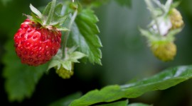 Wild Strawberry Desktop Wallpaper For PC