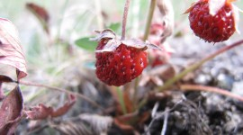 Wild Strawberry Photo Download