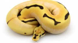 Yellow Snake Best Wallpaper