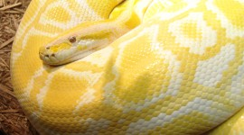 Yellow Snake Desktop Wallpaper