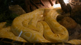 Yellow Snake Desktop Wallpaper For PC