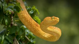 Yellow Snake Desktop Wallpaper Free