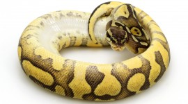Yellow Snake Wallpaper For PC