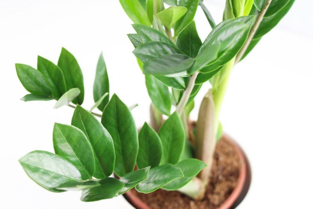 Zamioculcas wallpapers HD