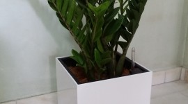 Zamioculcas Wallpaper For Android#3