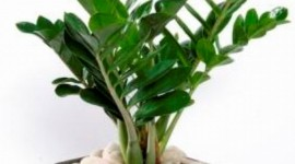 Zamioculcas Wallpaper For IPhone Download