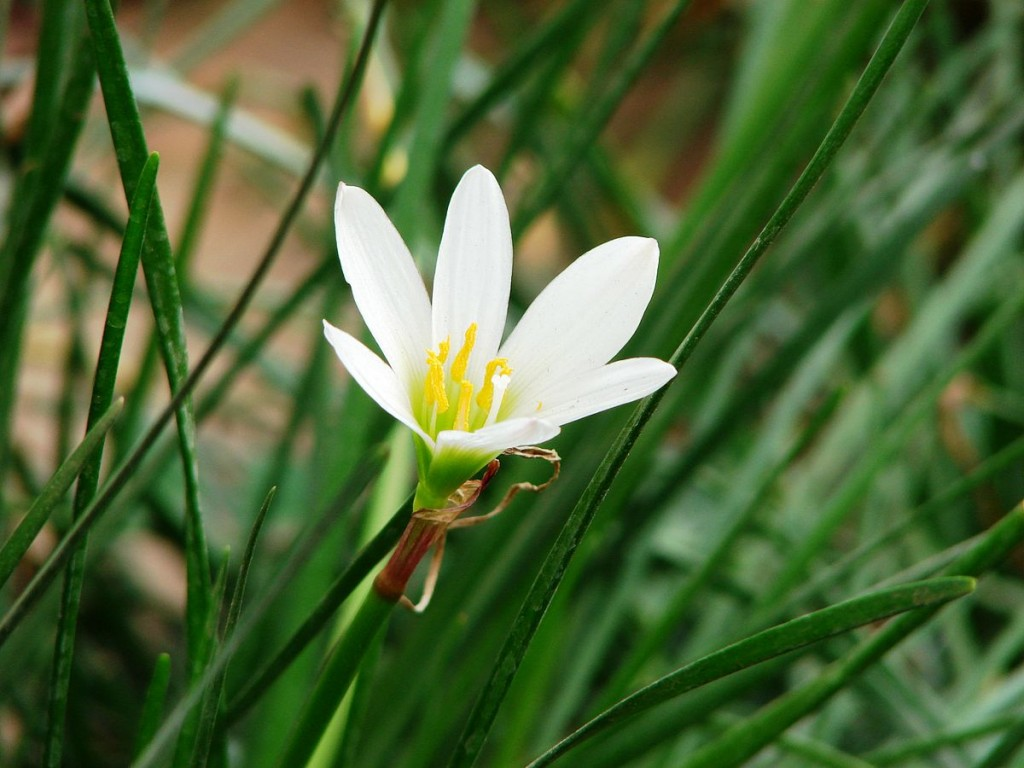 Zephyranthes wallpapers HD