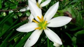Zephyranthes Photo