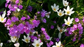 Zephyranthes Wallpaper Download Free