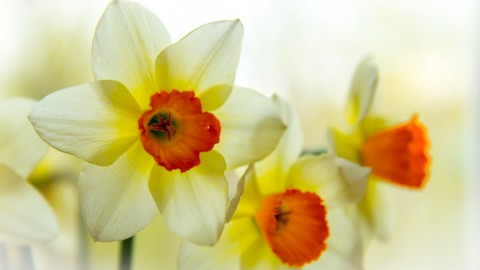 4K Narcissus wallpapers high quality