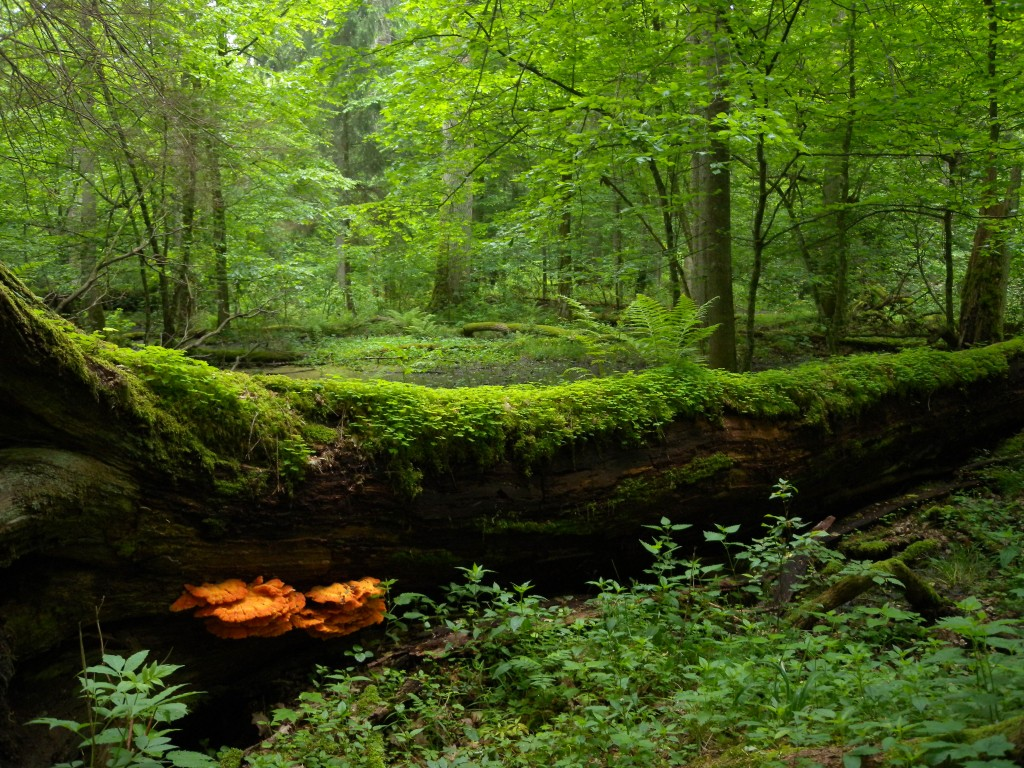 Bialowieza Forest wallpapers HD