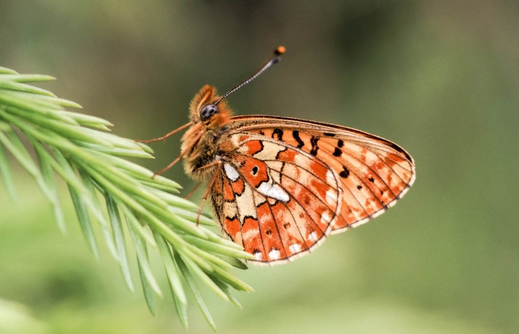 Boloria wallpapers HD