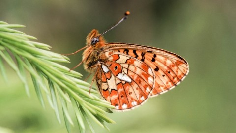 Boloria wallpapers high quality