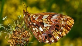 Boloria Desktop Wallpaper HD