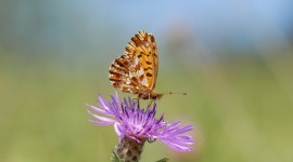 Boloria Photo Download