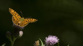 Boloria Photo Download#2
