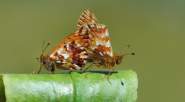 Boloria Wallpaper Download