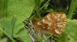 Boloria Wallpaper Download Free