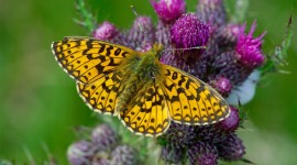 Boloria Wallpaper For IPhone