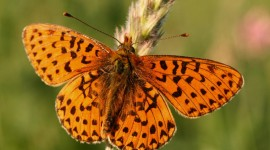 Boloria Wallpaper Gallery