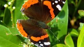 Butterfly Admiral Best Wallpaper