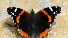 Butterfly Admiral Desktop Wallpaper