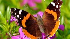Butterfly Admiral Desktop Wallpaper For PC