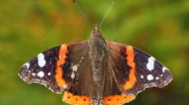 Butterfly Admiral Desktop Wallpaper HD
