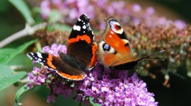 Butterfly Admiral Photo Free