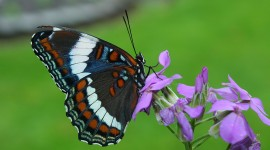 Butterfly Admiral Photo Free#1