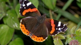 Butterfly Admiral Photo#1