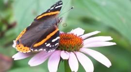 Butterfly Admiral Wallpaper