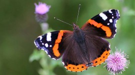 Butterfly Admiral Wallpaper Download
