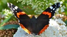 Butterfly Admiral Wallpaper For Desktop