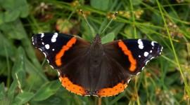 Butterfly Admiral Wallpaper Full HD